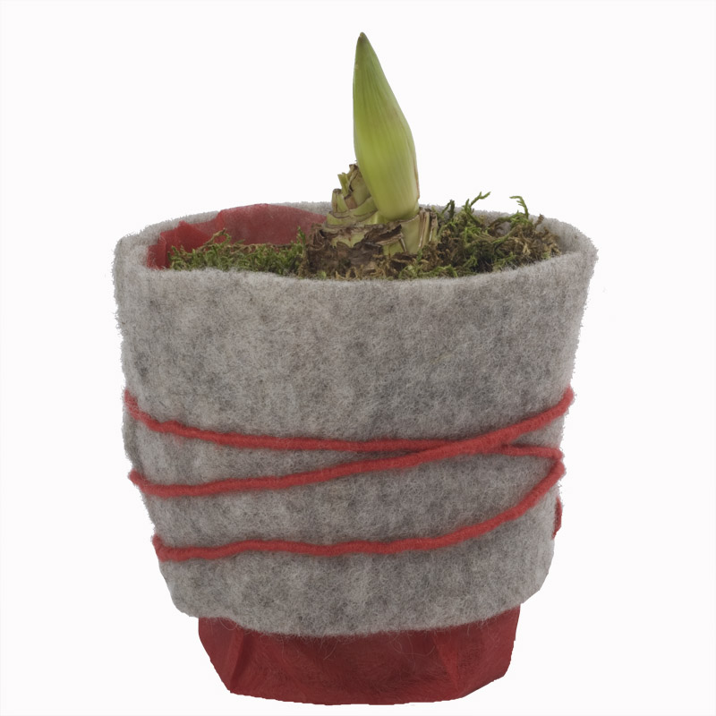Couleur rouge for Planter un bulbe amaryllis
