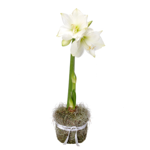 Amaryllis blanche plante - MB Murielle Bailet ®