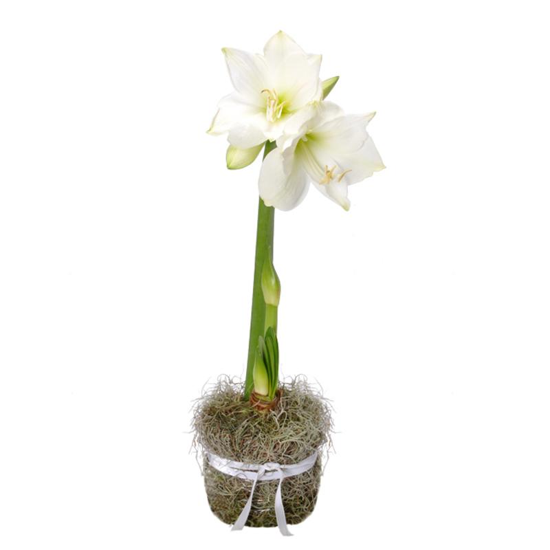 Bouquets de la collection d 39 hiver for Vente bulbe amaryllis