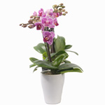 Orchidée micro Phalaenopsis - MB Murielle Bailet ®