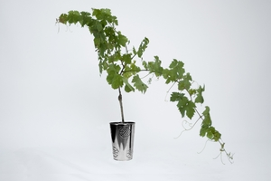 La f te des p res 2012 - Pied de vigne en pot ...
