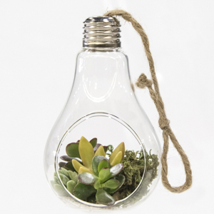 Suspension ampoule d'Echeveria